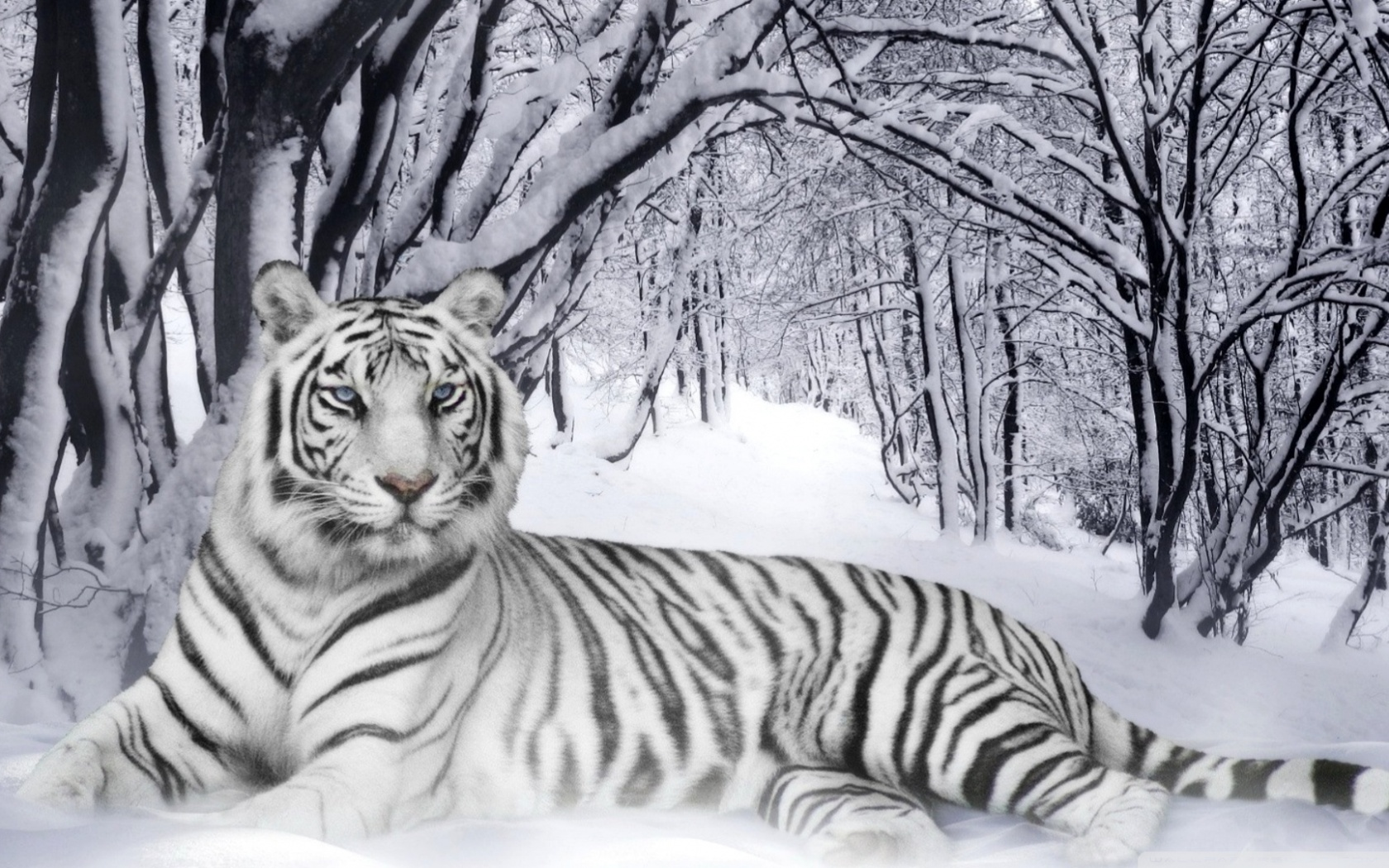 bengal_tiger-wallpaper-1680x1050.jpg