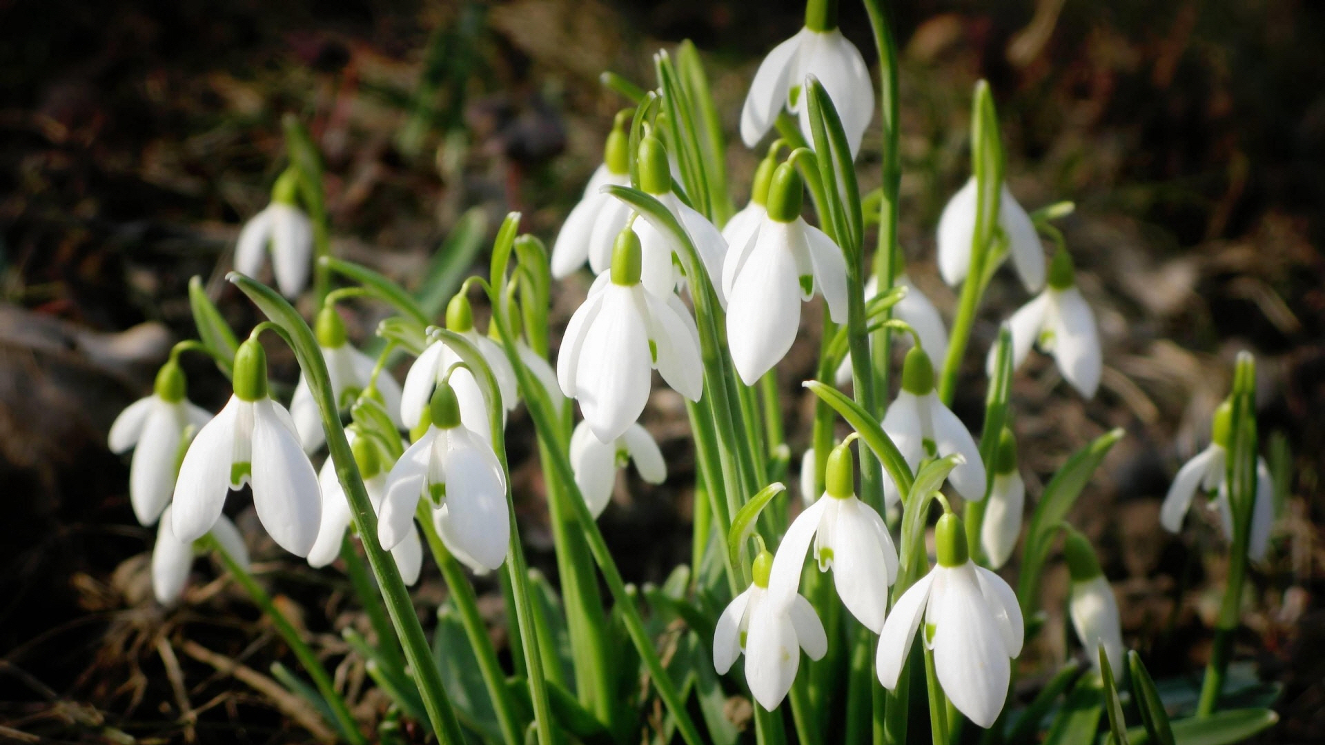 opened_snowdrops-wallpaper-1920x1080.jpg [File Size:871.9KB/Download ...