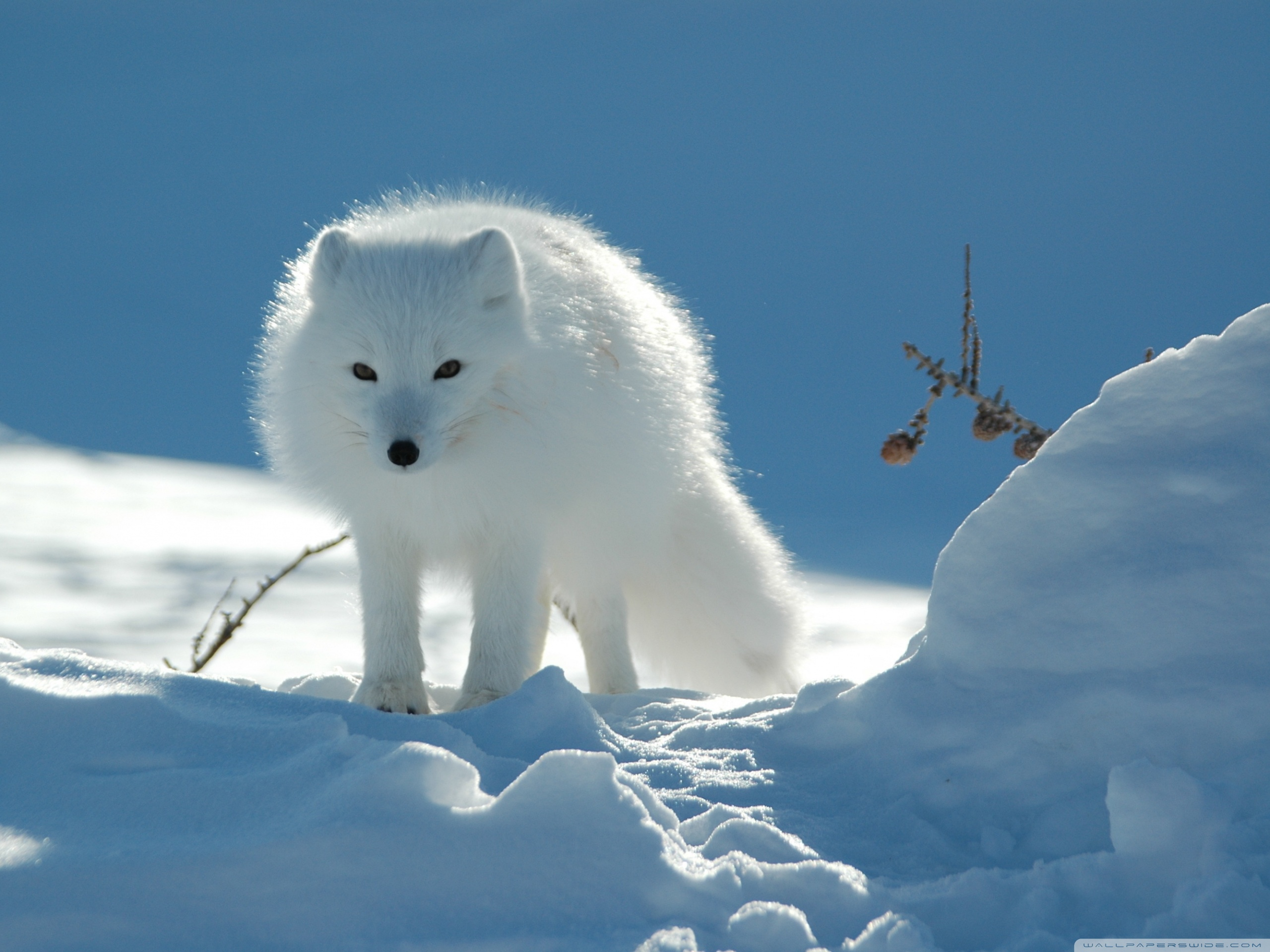 white_fox-wallpaper-2560x1920.jpg
