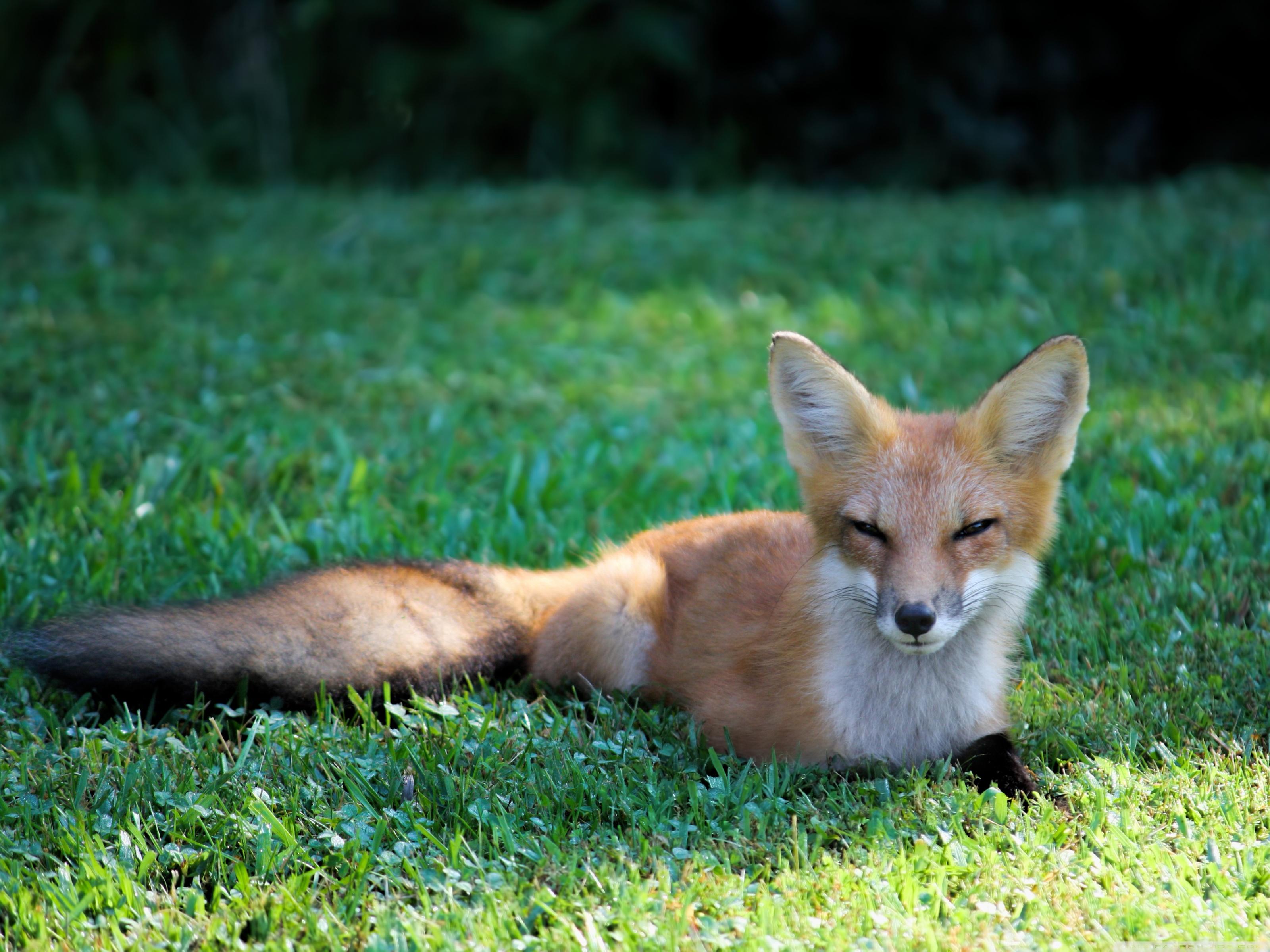 pretty_red_fox-wallpaper-3200x2400.jpg