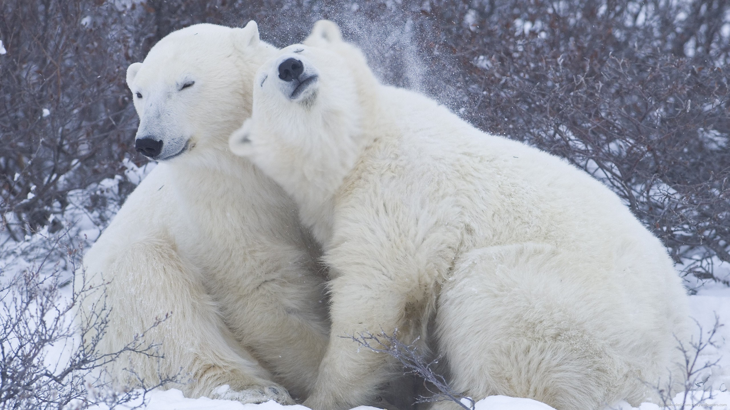 cute-big-polar-bears.jpg